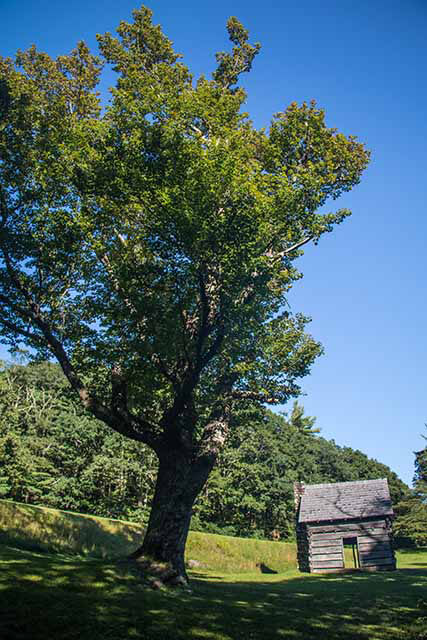 Jesse Brown's Cabin with the Large Maple Tree