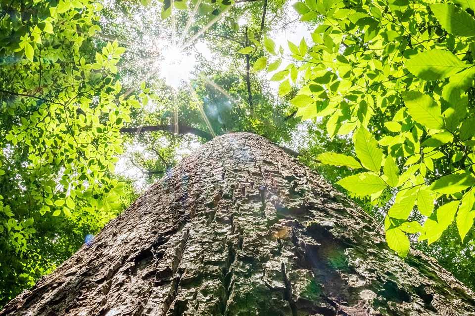 Joyce Kilmer Memorial Forest Giant Tree