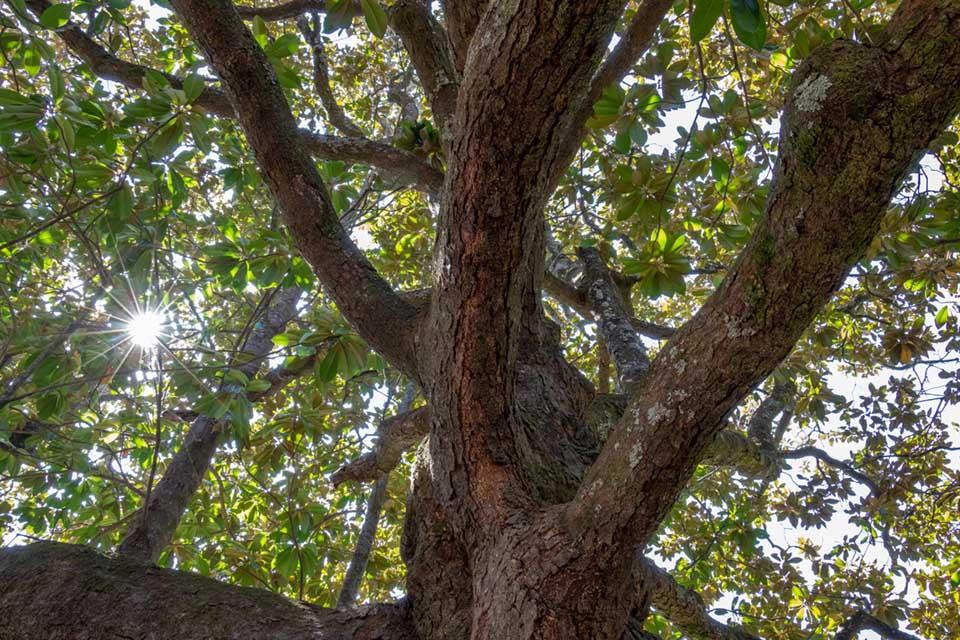 Mognolia Tree at Rose Hill Plantation