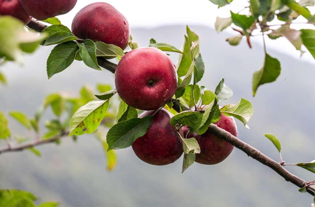 North Carolina Apples are in Harvest!