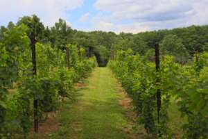 Vineyard from the McRitchie Winery and Ciderworks