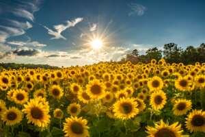 Carolina Sunflowers!