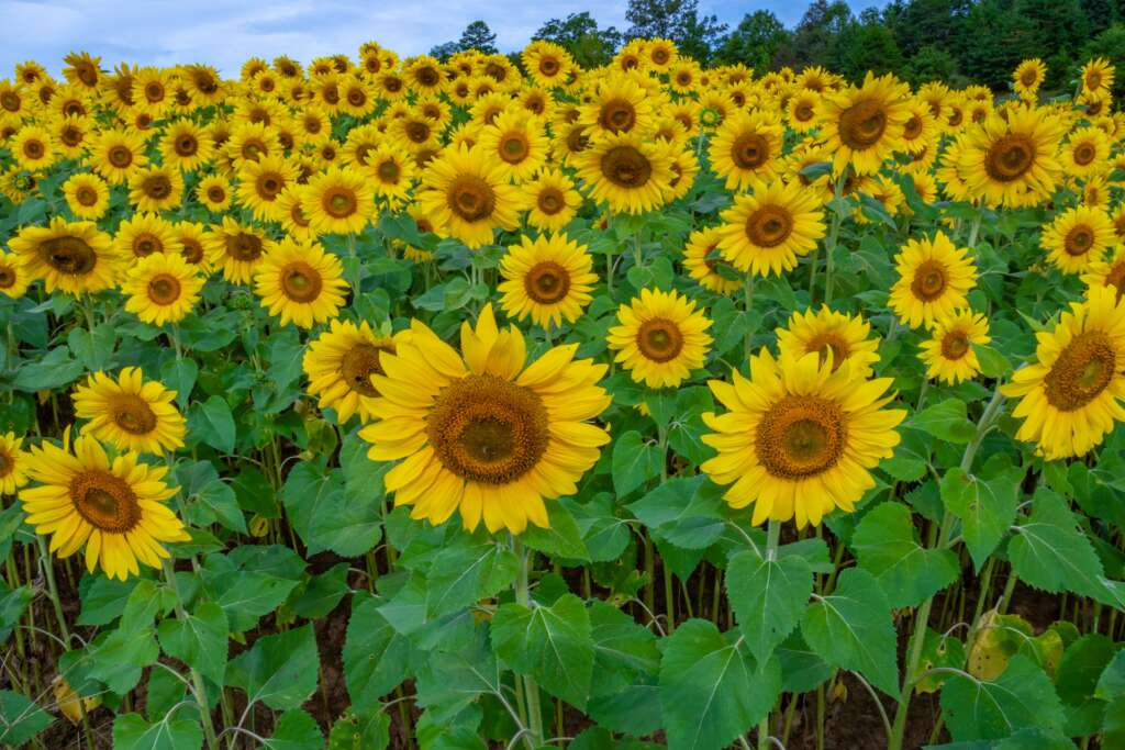 Sunflowers, Sunflowers, and more Sunflowers!