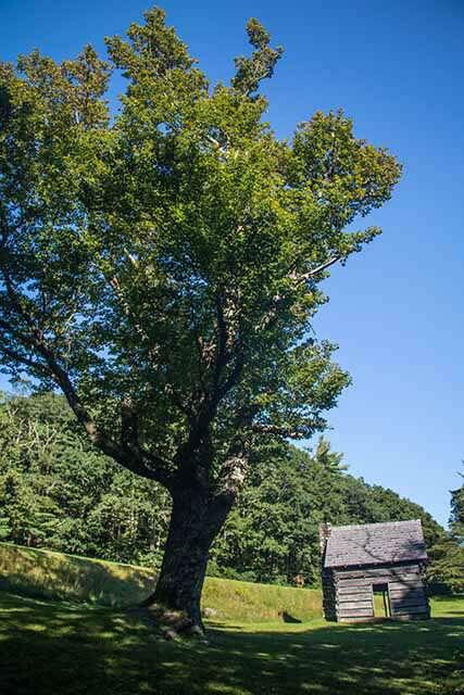 Jesse Brown Cabin Maple Tree